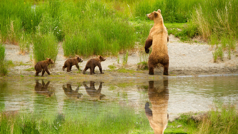 Mother Grizzly and 3 Spring Cubs Katmai National Park Alaska