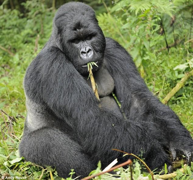 gorilla-silverback[1]